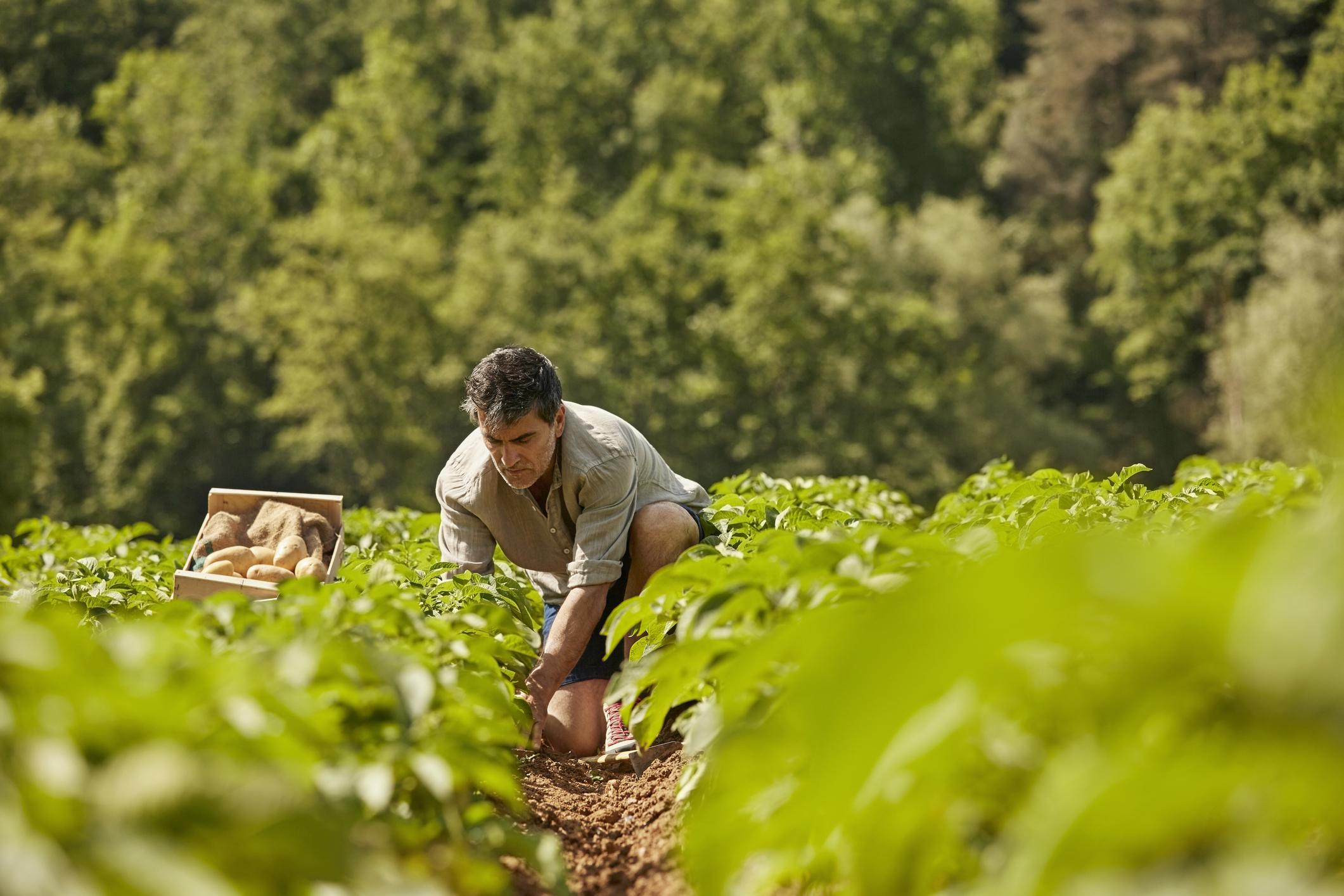 Mature man harvesting potatoes on field